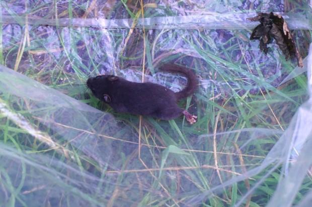 Black-dormouse-crop-5ea4d5c