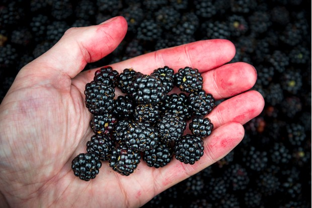 Male hand holding shiny blackberries picked from hedgerows in the English countryside.