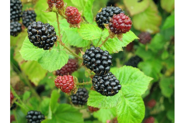 Blackberries GettyImages-523658022-c9594c2