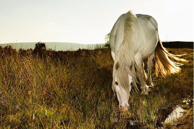 Welsh Mountain Pony drinks water in the Blorenge mountain range, South Wales UK