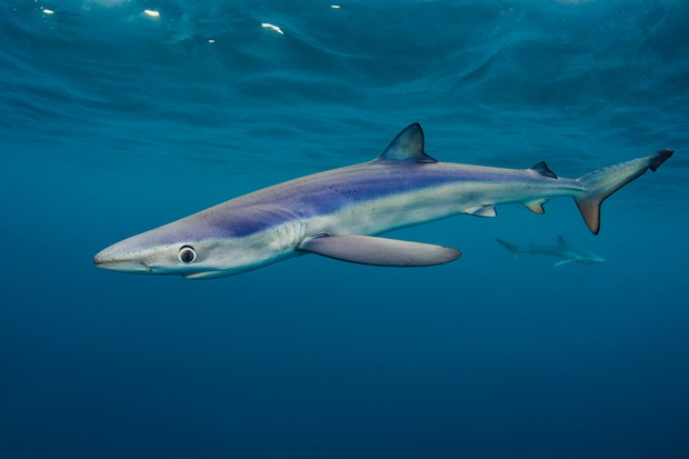 Blue-shark-Britains-waters_0-895f773