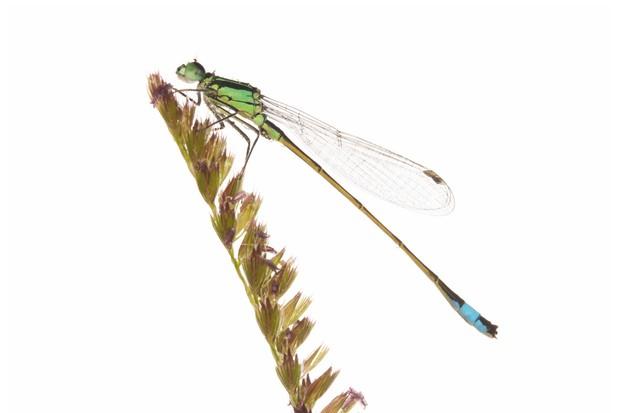 Blue-tailed20damselfly-1061bc3
