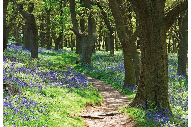 Bluebell wood, Hyacinthoides non-scripta.(Photo by FlowerPhotos/UIG via Getty Images)