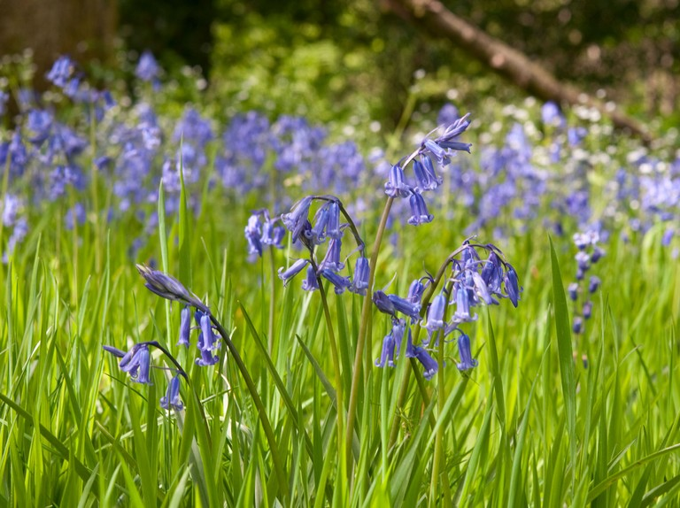Bluebells guide: where to see, best walks around the UK and how to grow
