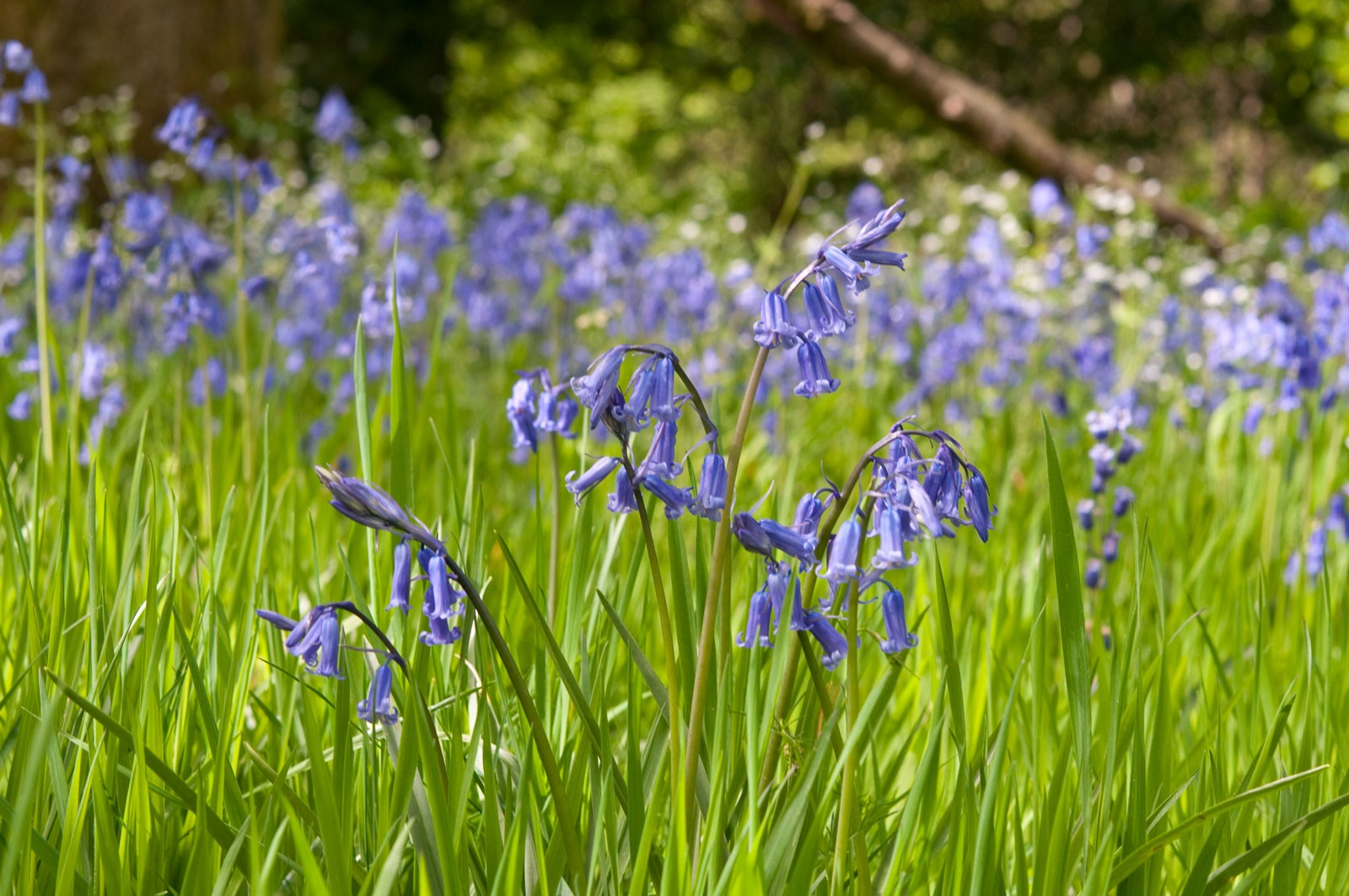 Bluebells-uk-06629e7
