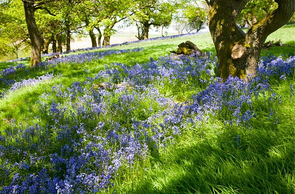 Bluebells, Hyacinthoides non-scripta, flowering in deciduous woodland on Martinsell Hill, Pewsey, Wiltshire England. (Photo By: Geography Photos/UIG via Getty Images)