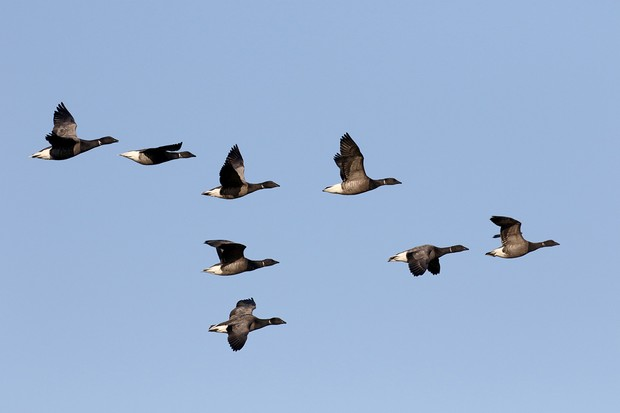Brent goose, Branta bernicla, group of birds in flight, Netherlands, January 2017
