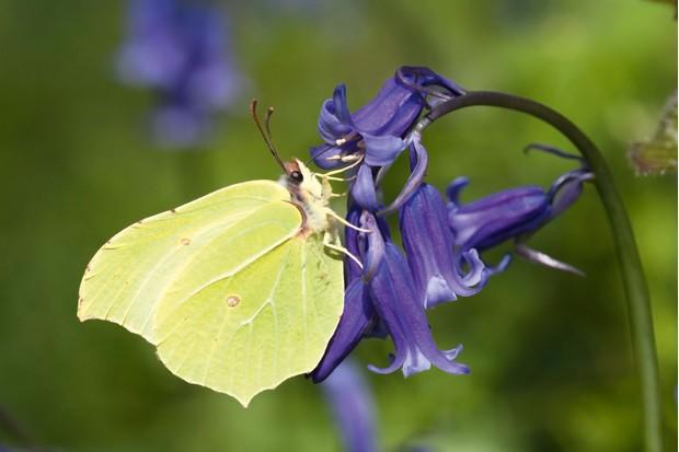 Brimstone-butterfly-cf8a8c6