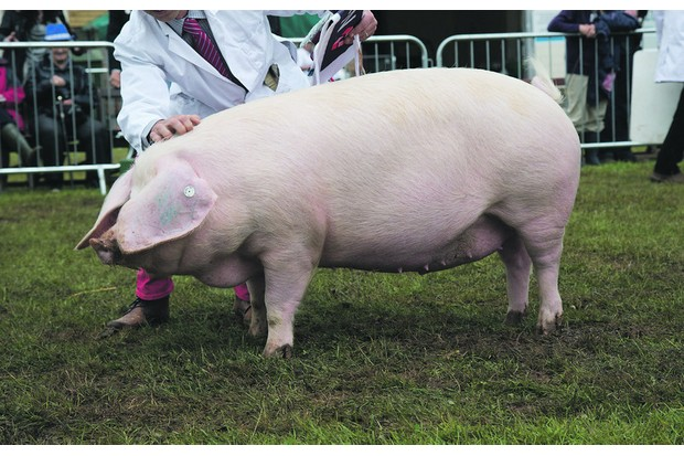 The champion pig, British Lop gilt Bezurrell Harmony 5 from G. P. Eustace of Gwinear, Hayle, Cornwall.