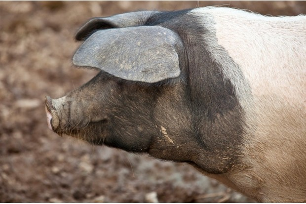 saddleback pig. Cornwall, England, United Kingdom.