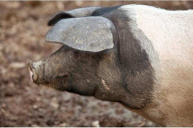 saddleback pig. Cornwall, England, United Kingdom.
