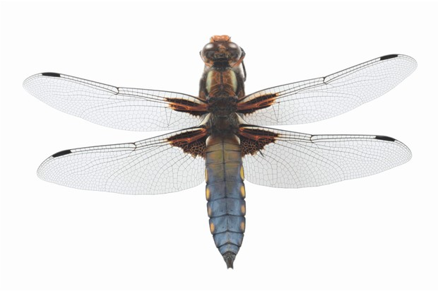 Guide to Britain's dragonflies and damselflies - Countryfile com