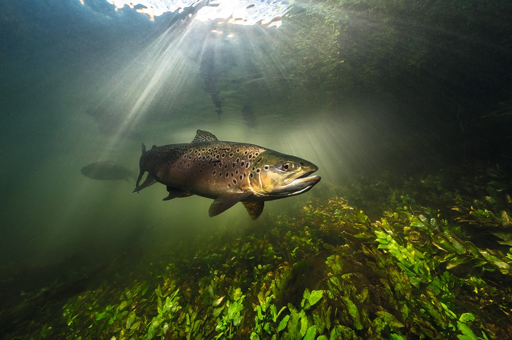 FF7YTF Brown Trout swimming in the margins of a UK river