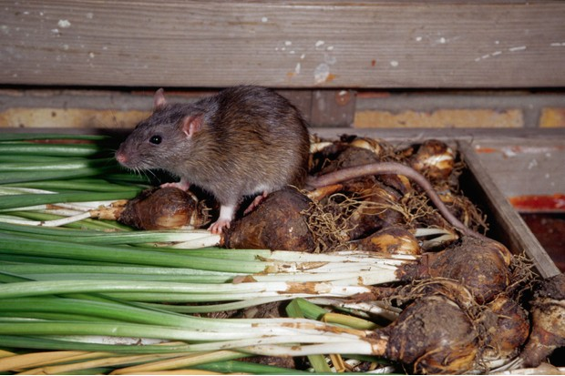 Brown-rat-209fad4
