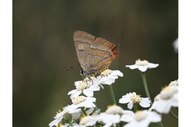 """Brown Hairstreak Butterfly Profile on flowers, taken at alners gorse in dorset"""