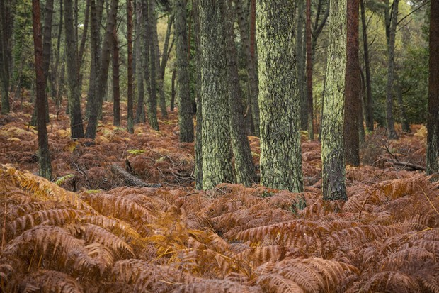 Brownsea Ferns ©National Trust Images Chris Lacey