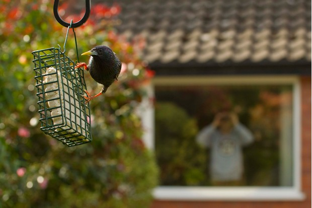 Starling on bird feeder with house in background, UK