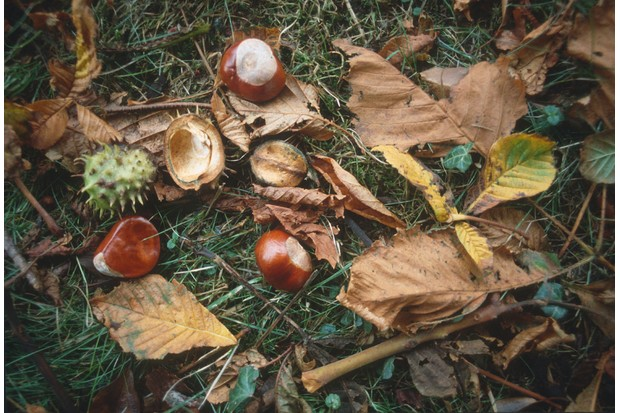 CONKERS horse chestnut