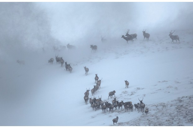 Red Deer herd (Cervus elaphus) moving over mountain ridge in heavy snow. Cairngorms National Park, Scotland. January. Highly Commended in the Habitat category of the British Wildlife Photography Awards (BWPA) Competition 2015.