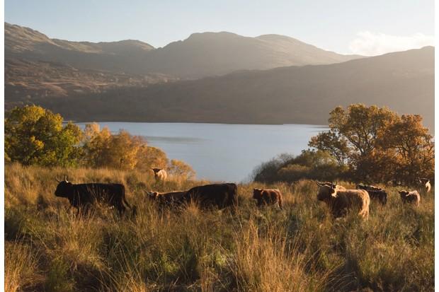 Cattle beside Loch Katrine ©Getty