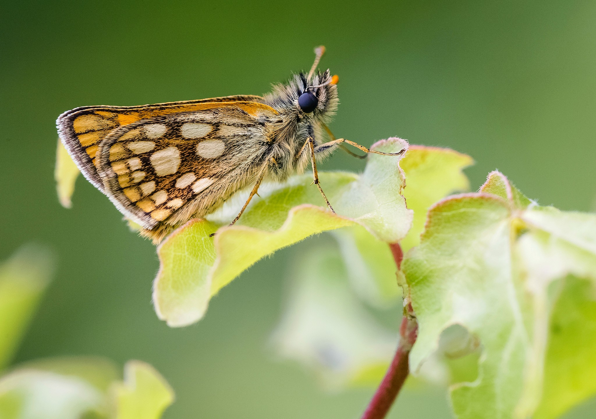 Chequered-Skipper_Adam-Gor-Butterfly-Conservation-2-8457d86