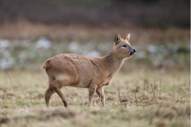 Chinese water deer, Hydropotes inermis, single mammal on grass, Bedfordshire, February 2013