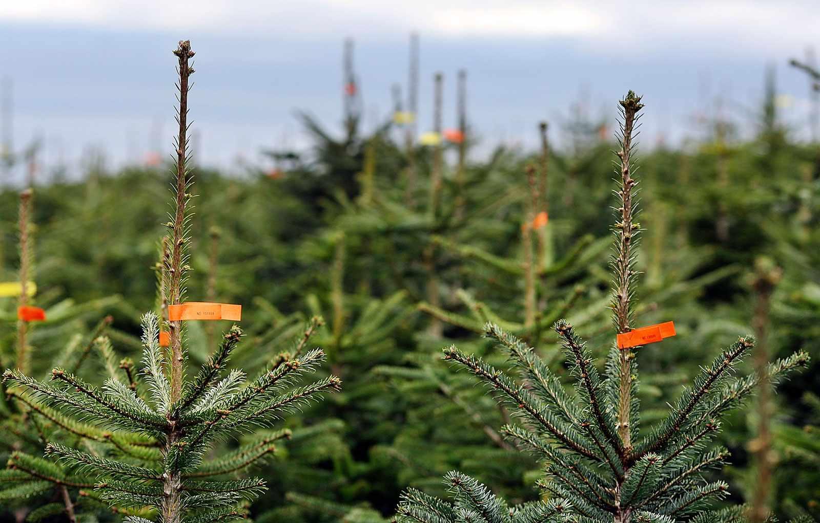 Christmastreefarm-e8b1d74