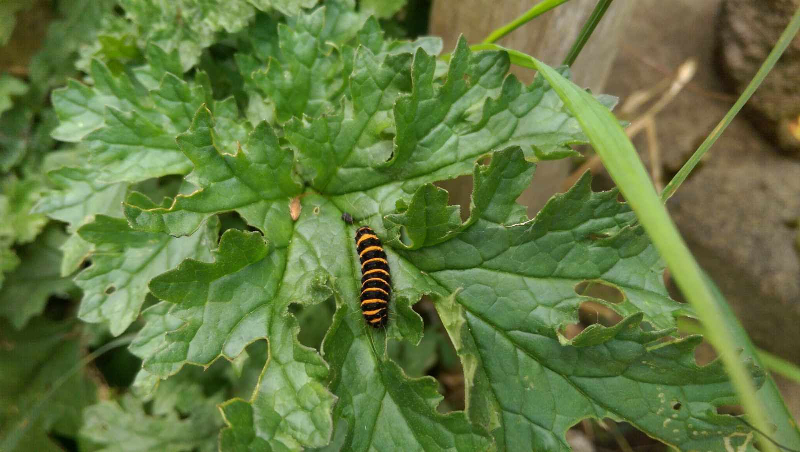 Cinnabar-caterpillar-b805443