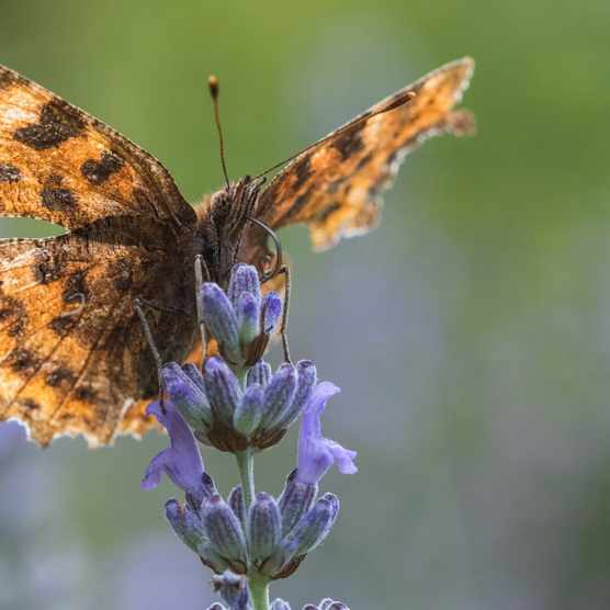 Comma_Christopher20Mills2C20Butterfly20Conservation-a343444