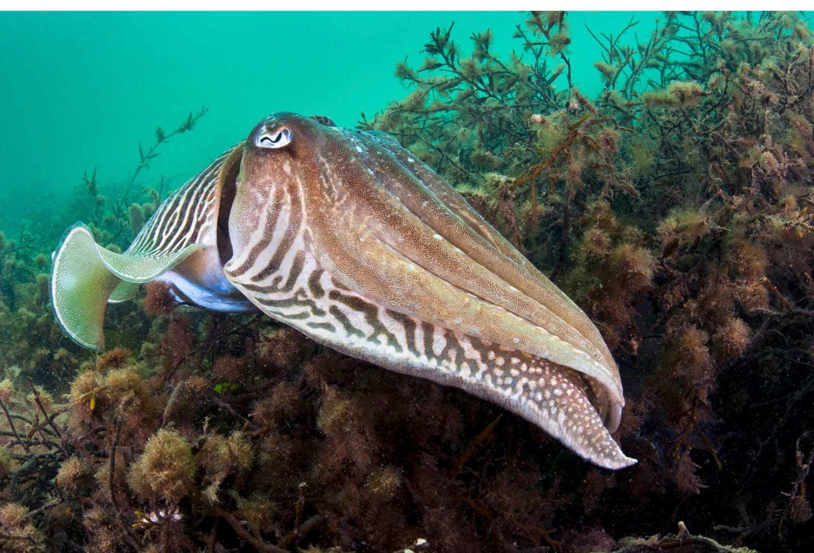 Common-cuttlefish-eb24509