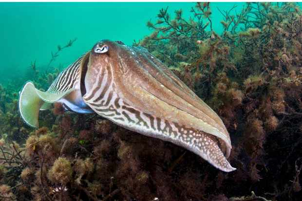 Common-cuttlefish-eb24509