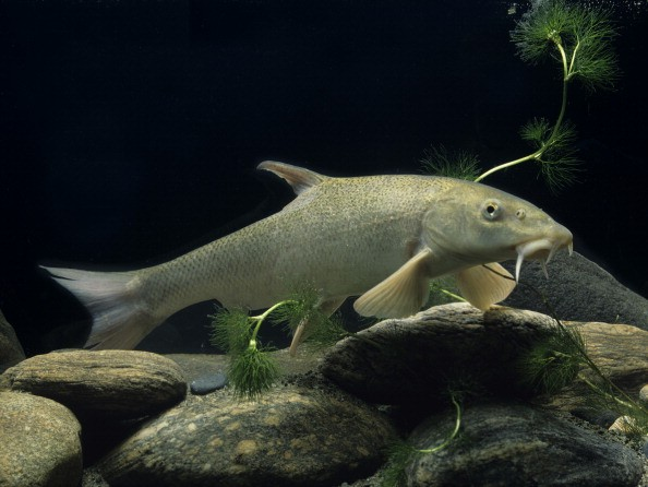 Common Barbel Common Barbel, Barbus Barbusbarbus Barbus , Common Barbel , Cyprinid , Bony Fish , Freshwater Fish , Fish (Photo by BSIP/UIG via Getty Images)