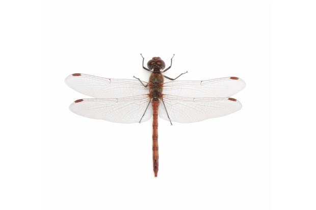 Common20darter-4ac2bca