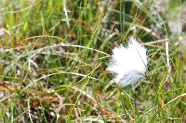 Commoncotton-grasscrop-947917c