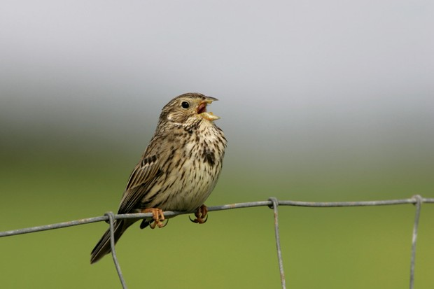 Corn-bunting-on-fence-1d50d67