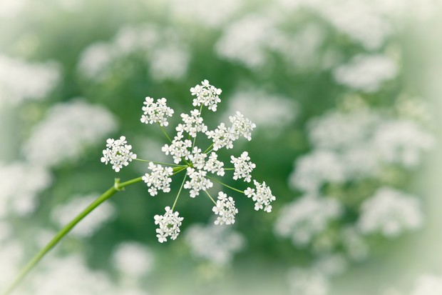 Close up of cow parsley flower (anthriscus sylvestris).