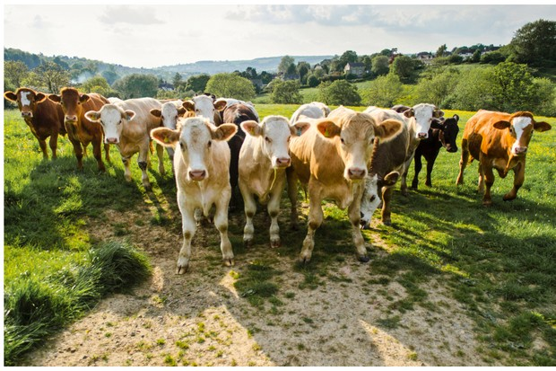 How dangerous are cows to walkers? - Countryfile com
