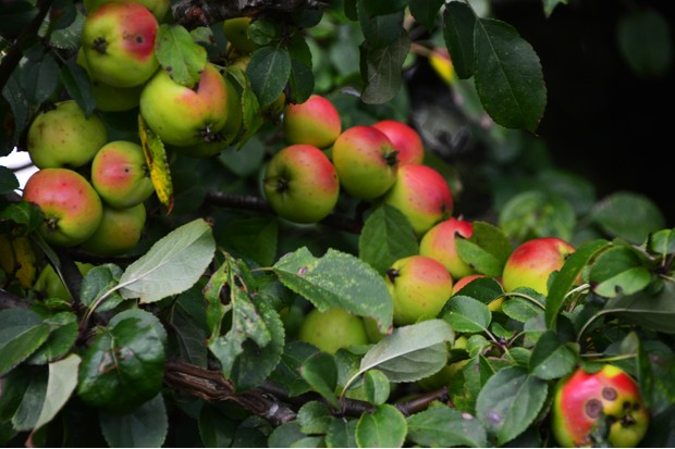 A sure sign of the seasons changing harvest time and the crab apples are abundant this year.