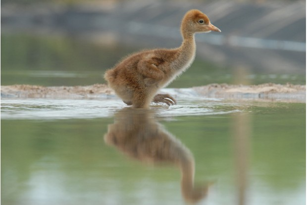 Crane-chick-in-water-28c29-JSLees-WWT-c6fe514