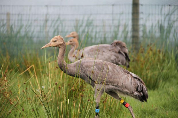 Cranes-in-release-aviary-28c29-Sacha-Dench-WWT-d7e7ec4