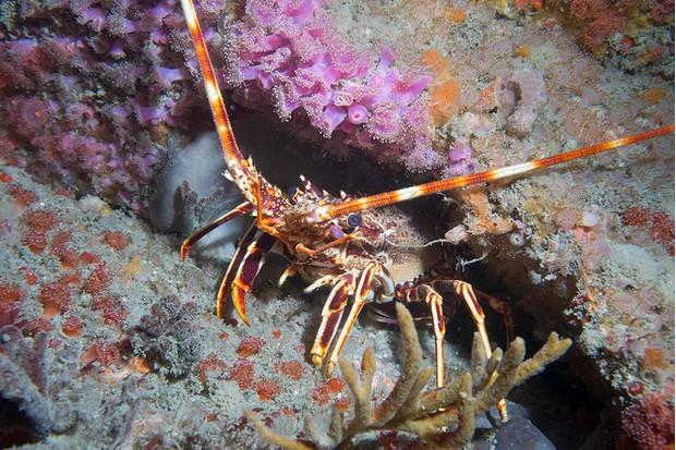 Crawfish20Palinurs20elephas-9160f8a