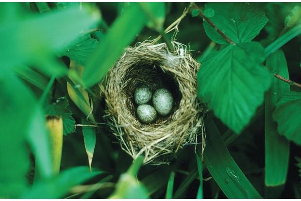 Cuckoo in reed warbler nest
