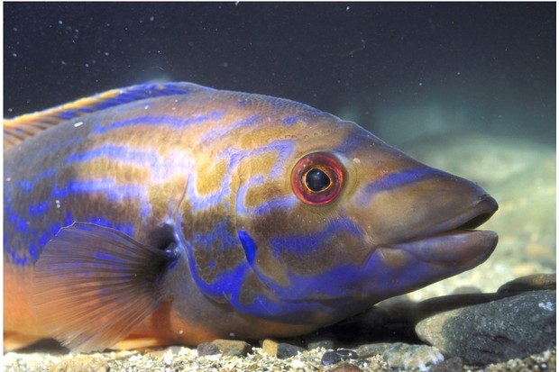 Cuckoo_wrasse_GettyImages_0-c89859a