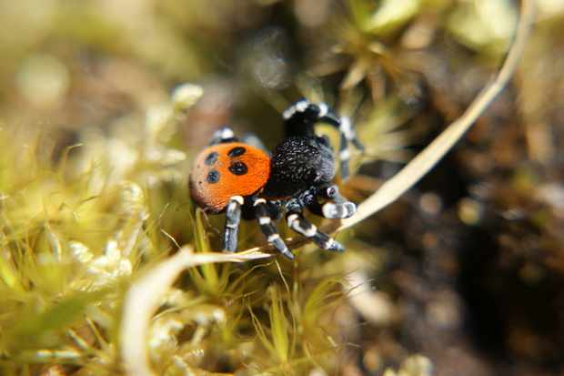 Rare spiders are released in Dorset - Countryfile.com
