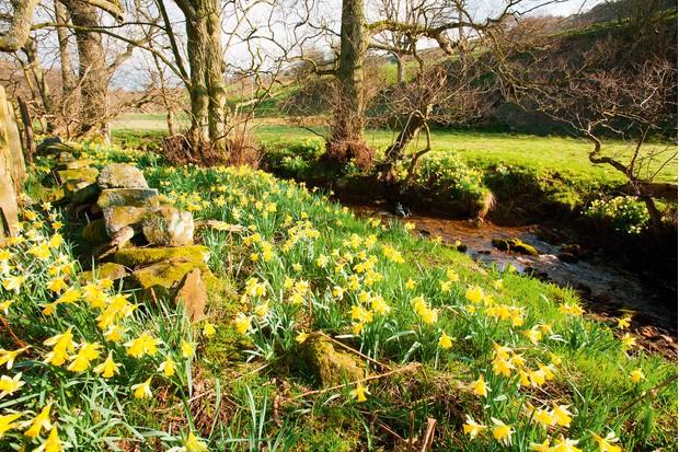 Daffodils-eddcd40