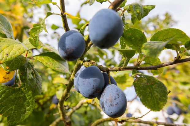 Damsons growing on branch