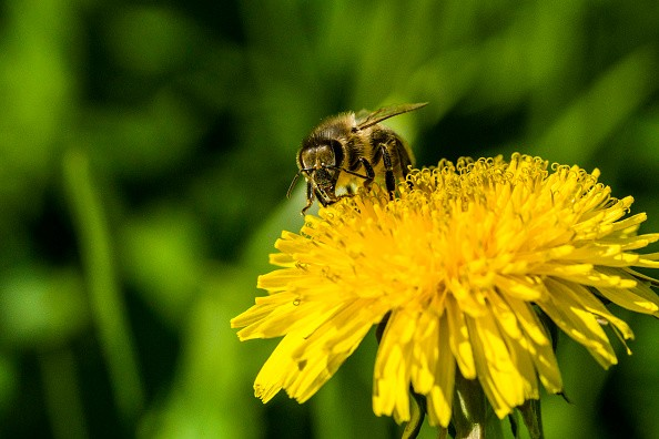 HEIDENAU, SAXONY, GERMANY - 2016/05/09: A Carniolan honey bee (Apis mellifera carnica) is collecting nectar at a yellow Dandelion flower (Taraxacum officinale) blossom. (Photo by Frank Bienewald/LightRocket via Getty Images)