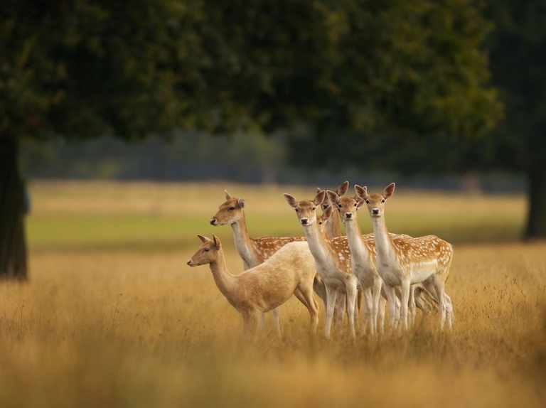 British Deer Species How To Identify And Where To See Countryfile Com