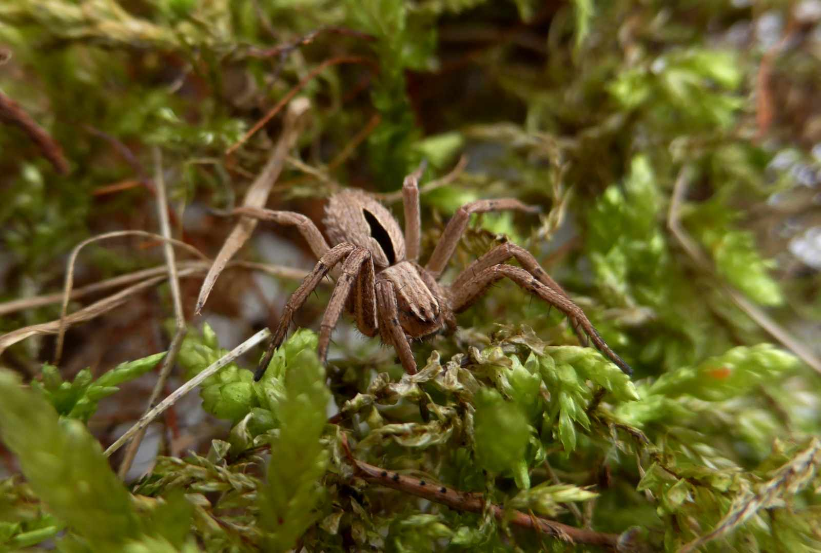 Diamond-Spider-©Lucy-Stockton-a413661