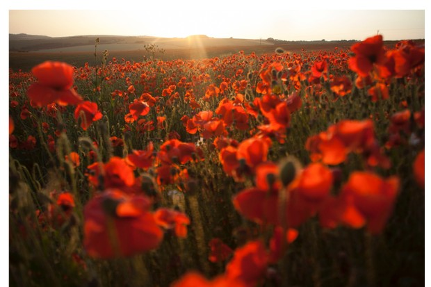 Poppies bloom on the side of Ditching Beacon